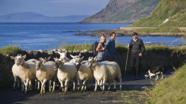Echt Irland, die Schafe