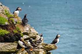 Echt Ierland, Skellig Islands, papegaaiduikers, Urlaub in Irland