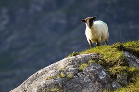 Echt Ierland, Ring of Kerry, schaap, Urlaub in Irland