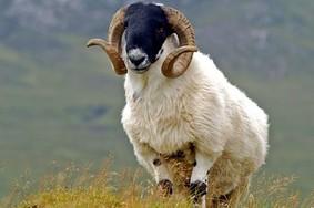 Echt Irland, Schaf, Irland Rundreise